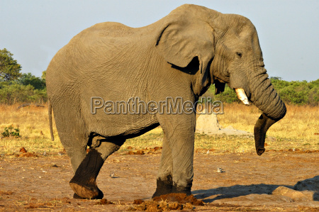 park africa elephant strong male masculine