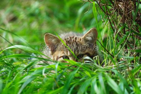 animal mammal fauna animals cats ears