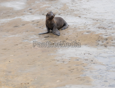 baby sea lion pup playing on