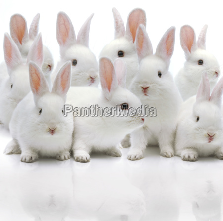 several white rabbits