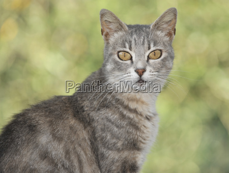 young gray eyed cat portrait