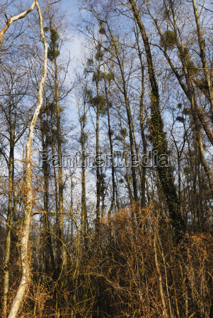 tree trees trunk virgin forest botany