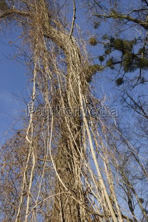 tree trees trunk cirrus botany tribes