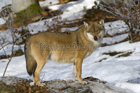wolf canis lupus bavarian forest national