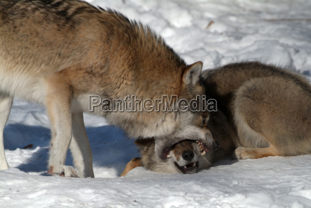 wolf canis lupus bites the muzzle