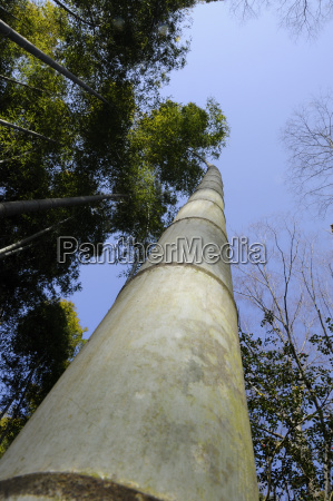 bamboo shoots bambuseae towering in the