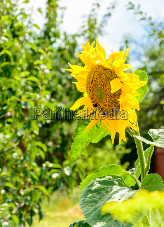 the flower of the sunflower