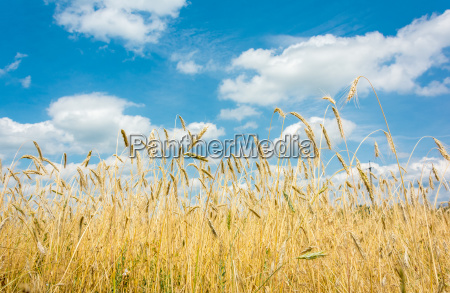 the stunning view of the wheat