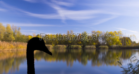 autumn with silhouette of a swan