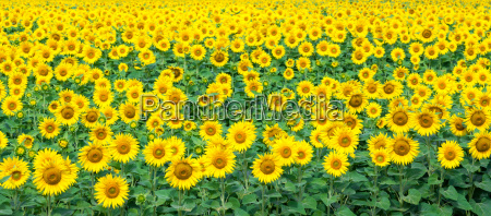 field with sunflower flowers