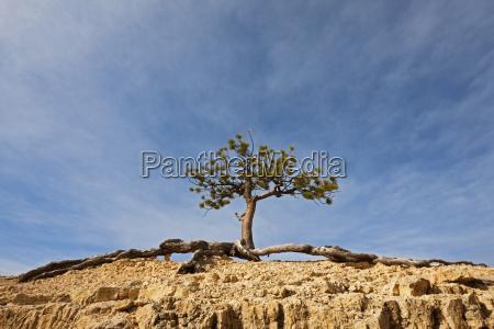 nevada circle pine pinus flexilis bryce