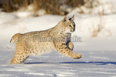 young subadulent bobcat lynx rufus runs