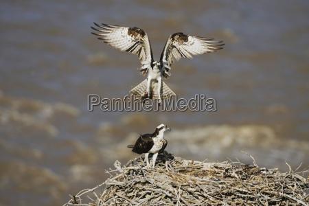 osprey pandion haliaetus flying man brings