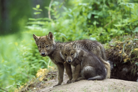 wolf canis lupus puppy at construction