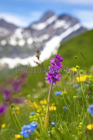 orchis orchis on a mountain meadow
