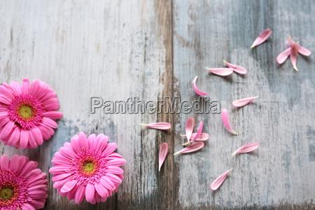 gerbera flowers on gray vintage planks001