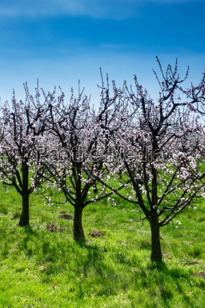 blossoming apricot trees