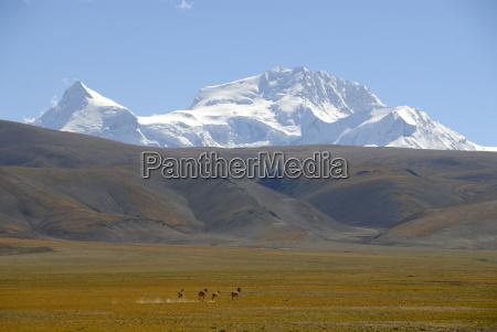 small herd of tibetan wild ass