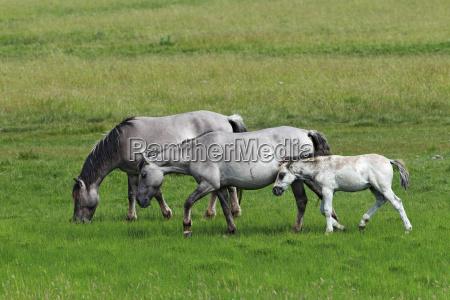 koniks equus przewalskii f caballus foal