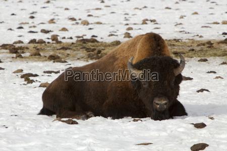 american winter animal mammal fauna animals