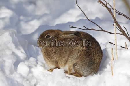 rabbit european wild rabbit oryctolagus cuniculus