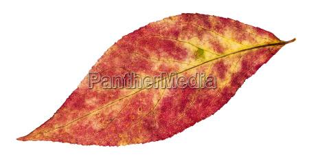 autumn pied leaf of willow tree
