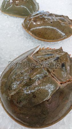 carcinoscorpius rotundicauda on ice for refrigeration