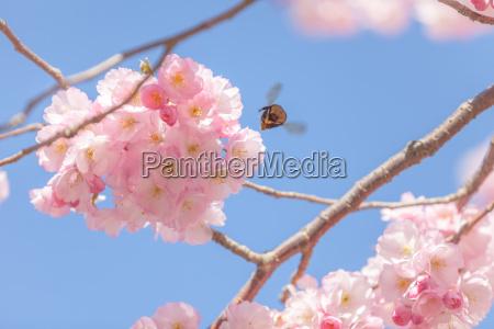 bumblebee flies over cherry blossoms in