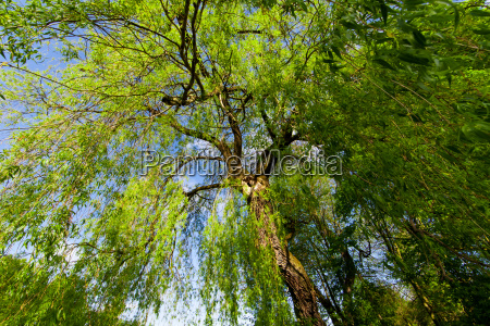 huge tree in the summer