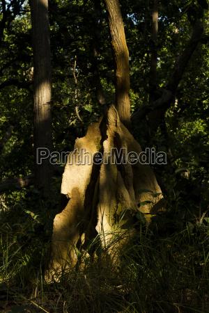 a termite nest in the jungle