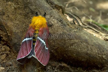 silk moth pseudodirphia menander monteverde province