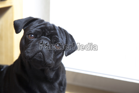mammal room fauna portrait black swarthy