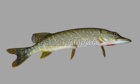 predatory fish pike