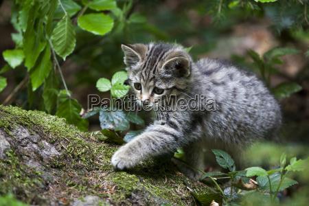 young wildcat felis silvestris in tierfreihgehege