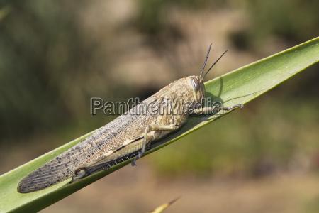 european migratory locust locusta migratoria portugal