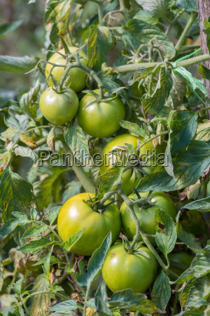 green raw tomatoes in the garden