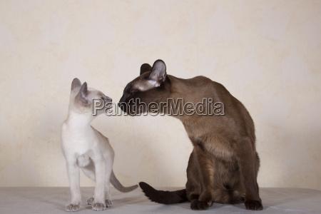 tonkanese breed cat with katzchen