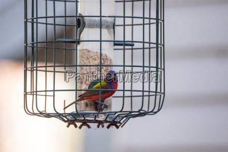 bright male painted bunting bird passerina