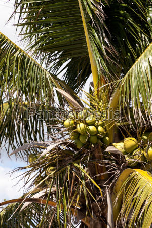 royal palm tree with coconuts clustered