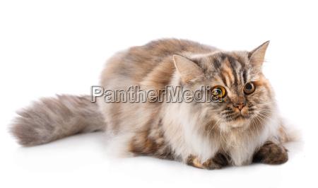 portrait of british straight cat sitting
