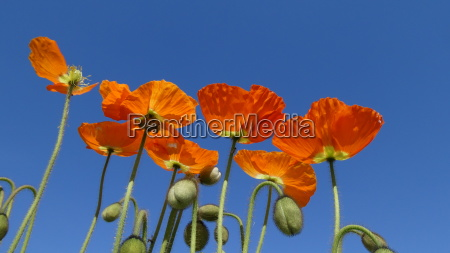 red poppy in front of blue