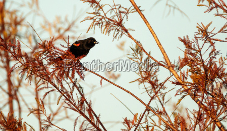 red winged blackbird agelaius phoeniceus