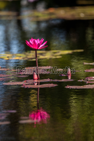 pink red water lily nymphaeaceae blossoms