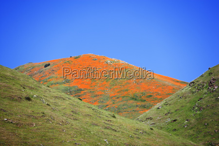 poppies on a hillside in southern