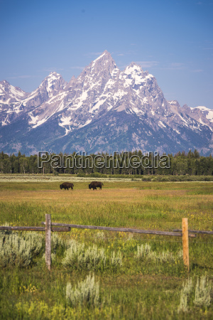 bison wander in field with grand