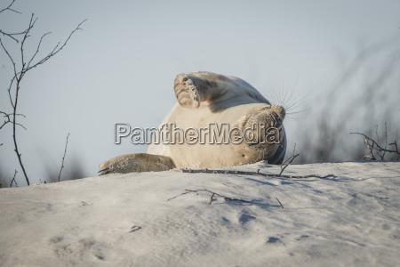 germany helgoland grey seal sleeping