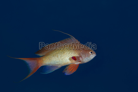 egypt red sea hurghada jewel fairy