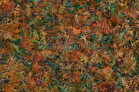 close up background of autumn thuja