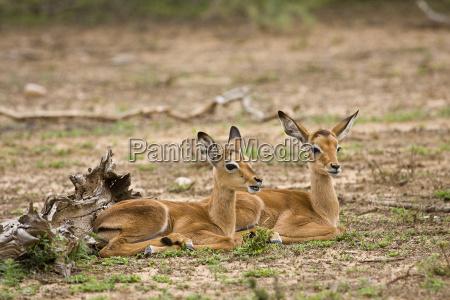 two wild baby impalas having a