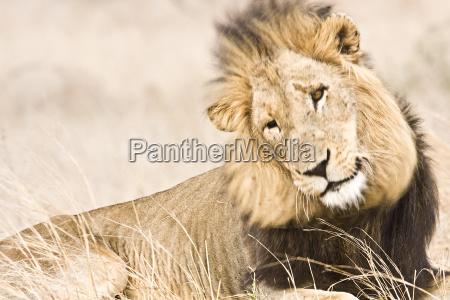 portrait of a wild male lion